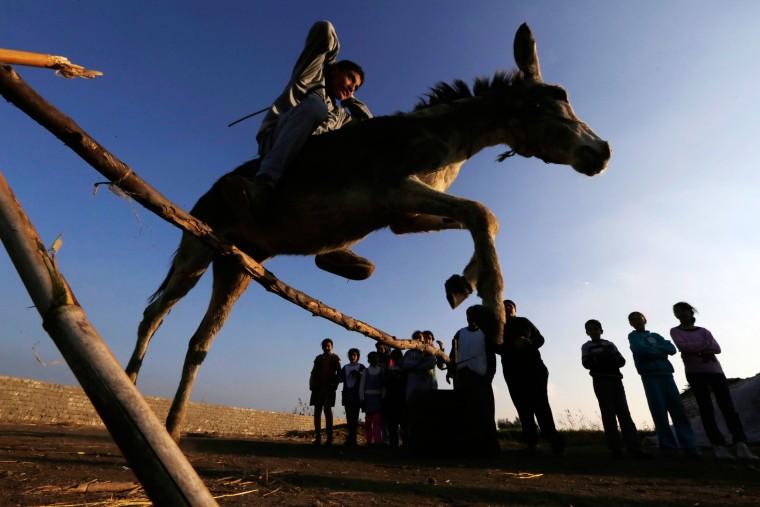 Image: Egyptian Donkey Jumping 02