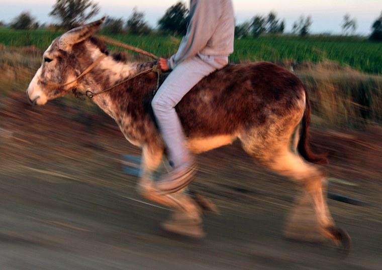 Image: Egyptian Donkey Running