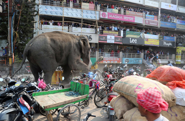 Image: Bystanders watch as a wild elephant struck with a tranquilizer dart in its back side walks along a street in Siliguri