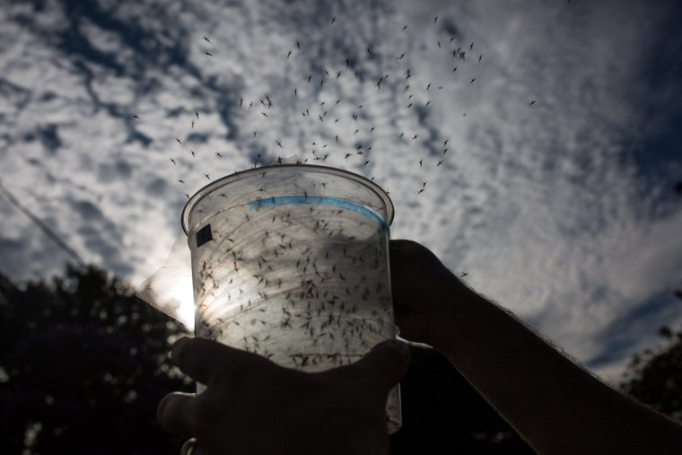 Image: Sao Paulo Lab Produces Genetically-Modified Mosquitoes To Combat Zika Virus