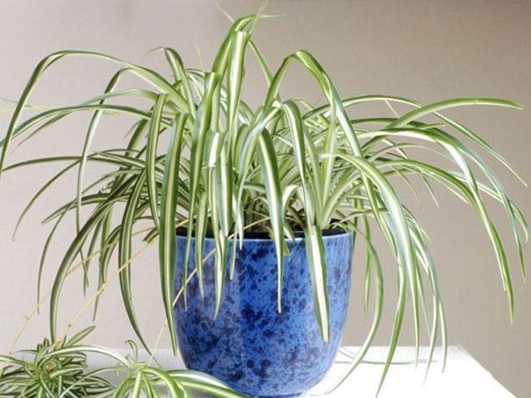 Spider plant, indoor plants, houseplants, the best indoor plants
