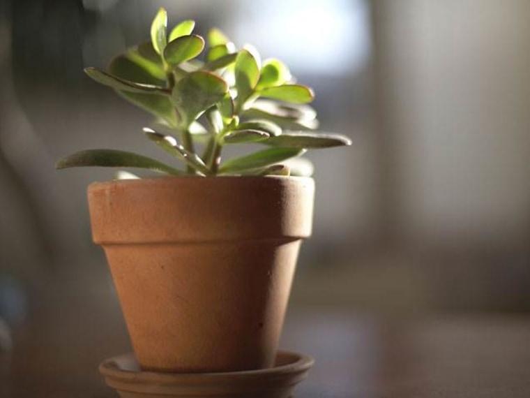 Jade plant, indoor plants, houseplants, the best indoor plants