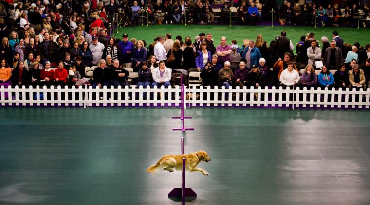 Image: US Westminster Dog Show 17