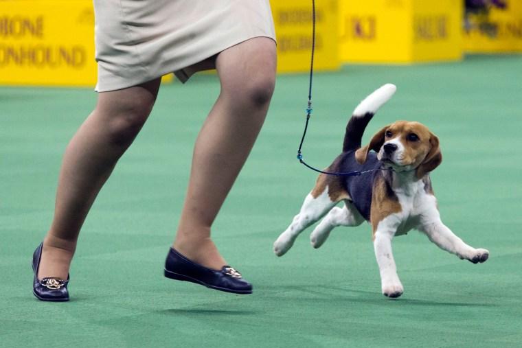 Image: US Westminster Dog Show 19