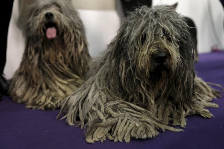 Image: US Westminster Dog Show 05