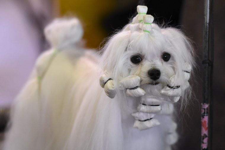 Image: US Westminster Dog Show 08