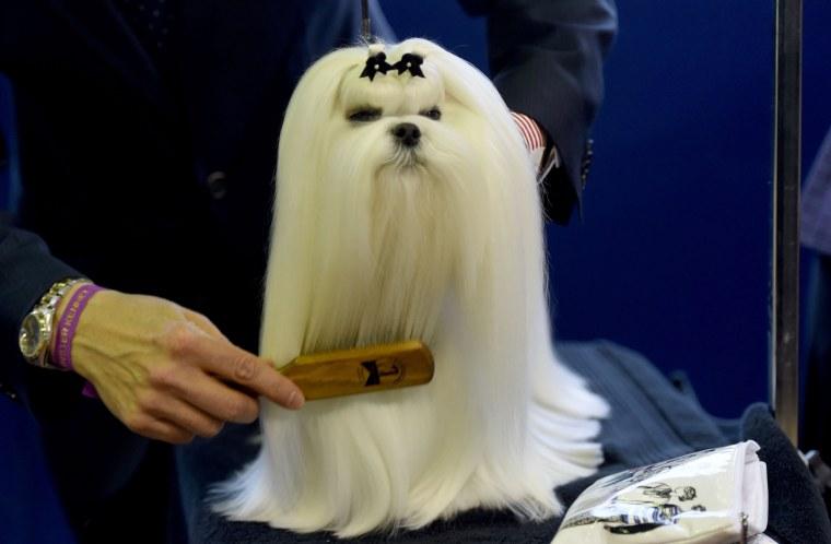 Image: US Westminster Dog Show 09