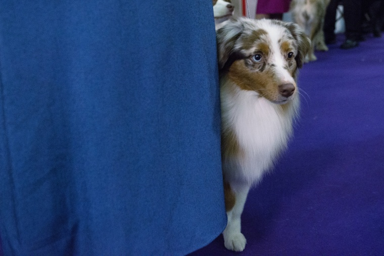 Image: US Westminster Dog Show 10