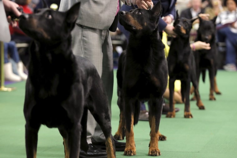 Image: US Westminster Dog Show 11