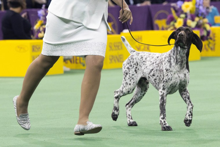 Image: C.J., a German shorthaired pointer