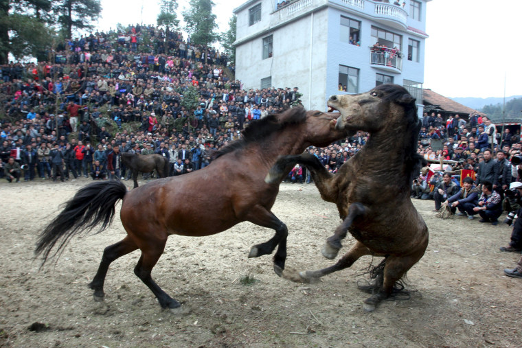 Image: Two horses fight at an ethnic Miao's horse fighting event celebrating Chinese Lunar New Year in Liuzhou, Guangxi Zhuang Autonomous Region