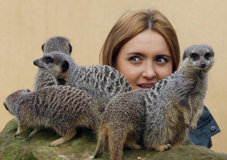 Keeper Caroline Westlake counts the Meerkats at London Zoo in London, Wednesday, Jan. 4, 2012.
