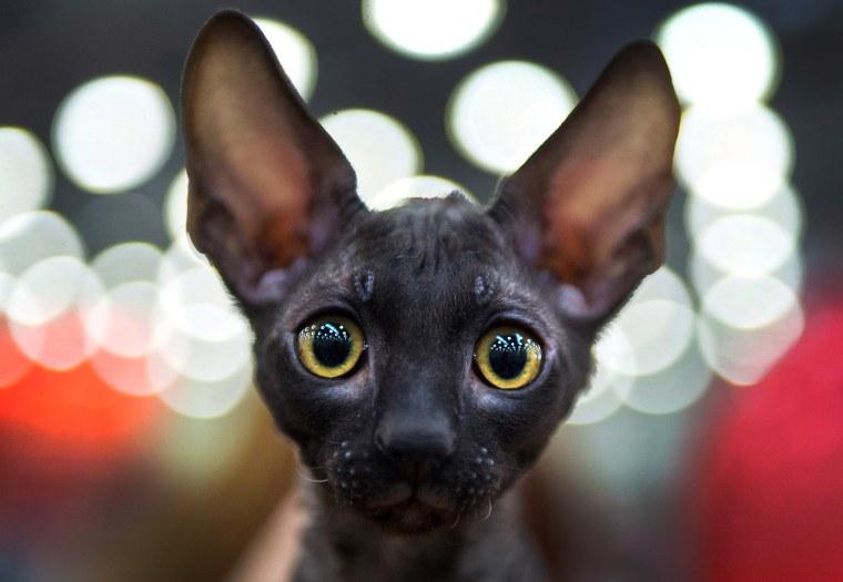Image: TOPSHOT-RUSSIA-CATSBURG-CATS-SHOW