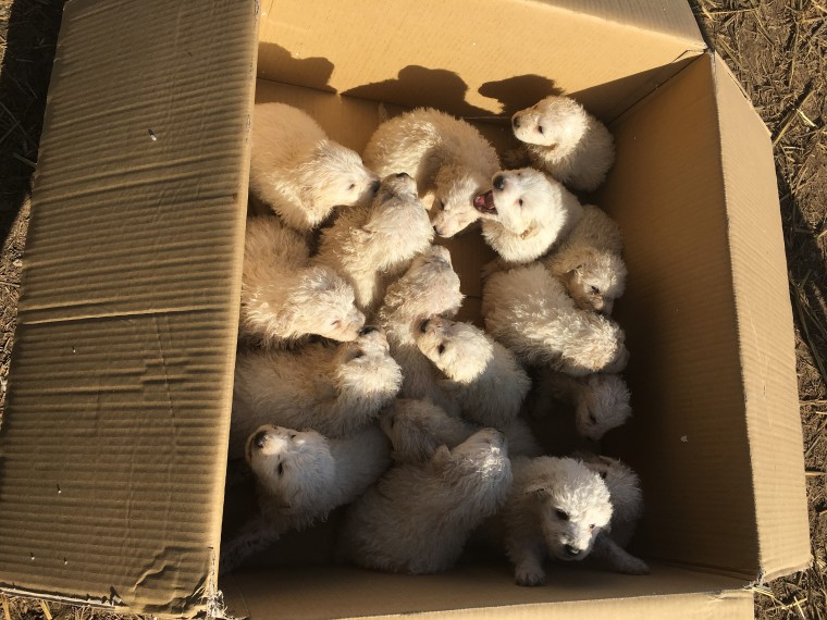 A pile of puppies! Sheepdog gives birth to record-setting 17 pups — in 1 litter!
