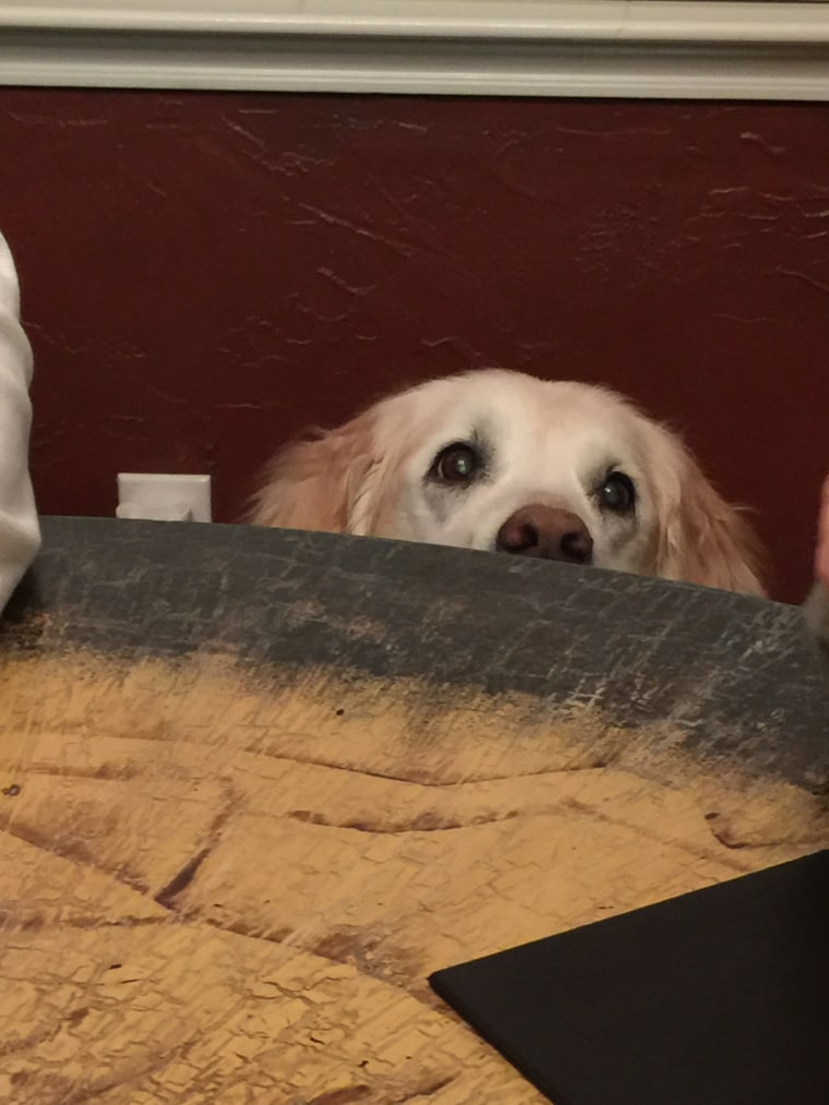 Bretagne the 9/11 search dog begging at table
