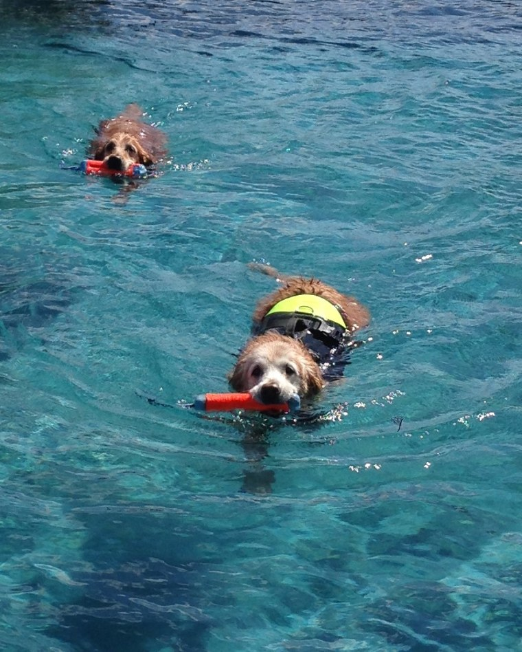 Bretagne the dog enjoys a swim with Aid'N, another of Denise Corliss' retired search dogs.