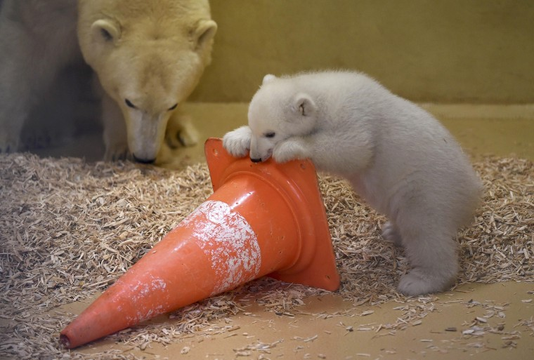 Image: Polar bear cub plays next to her mother Valeska at Bremerhaven Zoo by the Sea