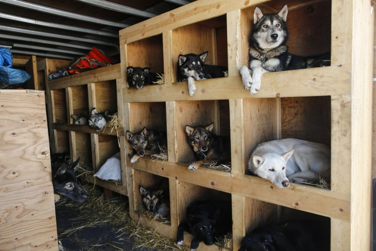 Image: Iditarod Trail Sled Dog Race 08