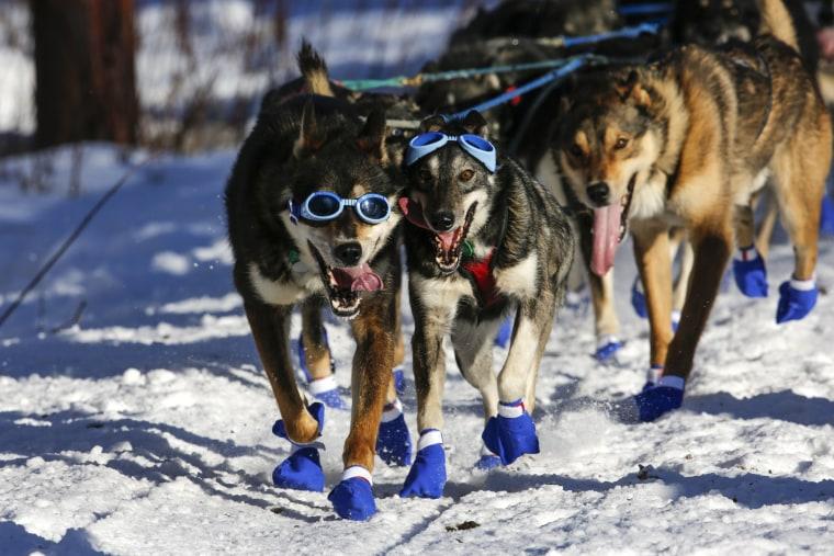 Image: Iditarod Trail Sled Dog Race 10