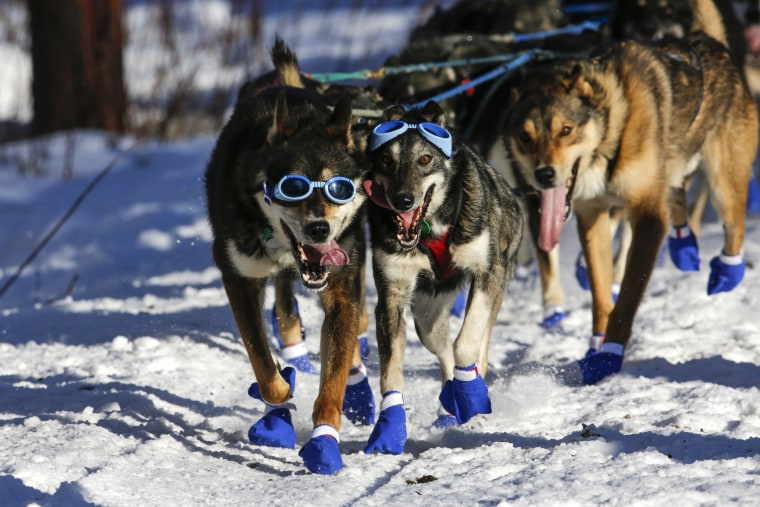 Image: Iditarod Trail Sled Dog Race 10