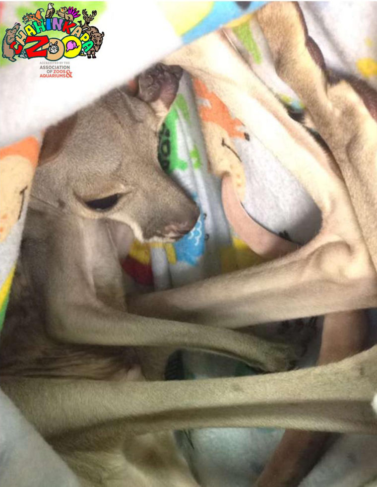 The orphaned kangaroo Barkley is being cared for at the Chahinkapa Zoo.