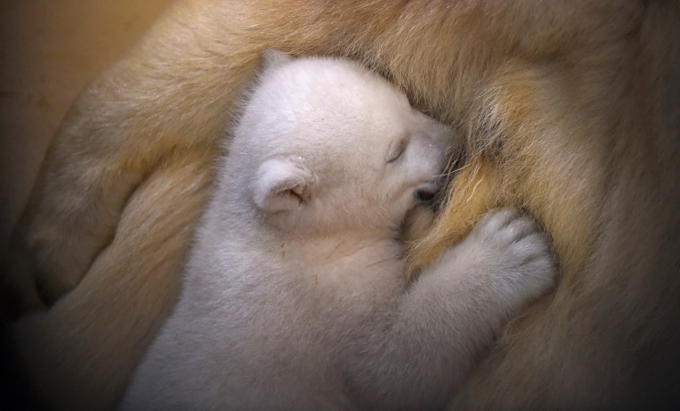 Image: Polar bear cub snuggles up against her mother Valeska at Bremerhaven Zoo by the Sea