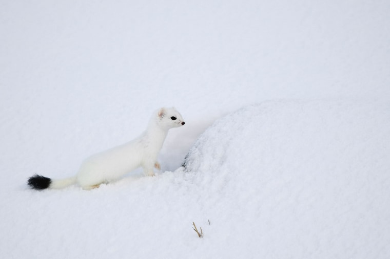 Image: An arctic weasel stands on the beach in Unstad