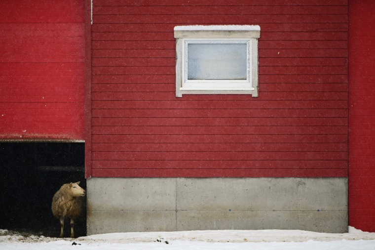 Image: A sheep looks out of his shelter in the snowy bay of Unstad