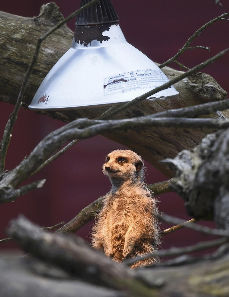 Image: A meerkat sits under a heat lamp in it's outside enclosure at Marwell Zoo near Winchester in Britain