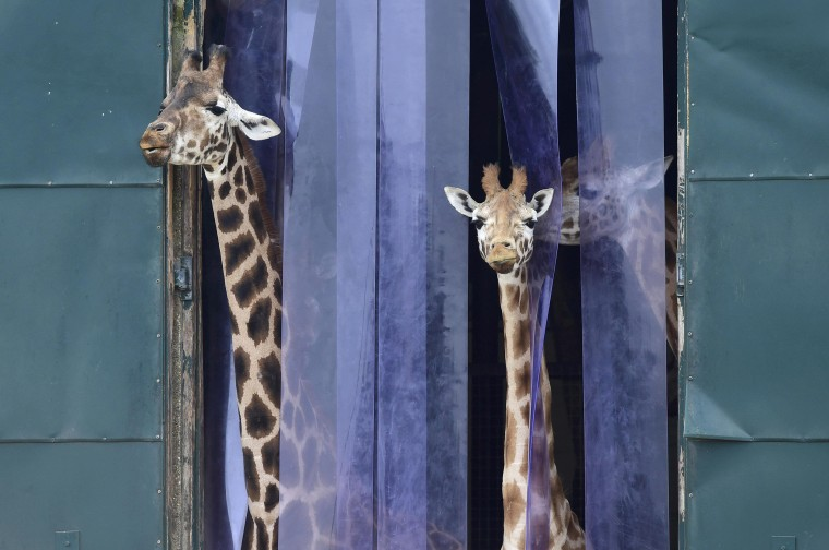 Image: Giraffes look out from their enclosure at Marwell Zoo near Winchester in Britain
