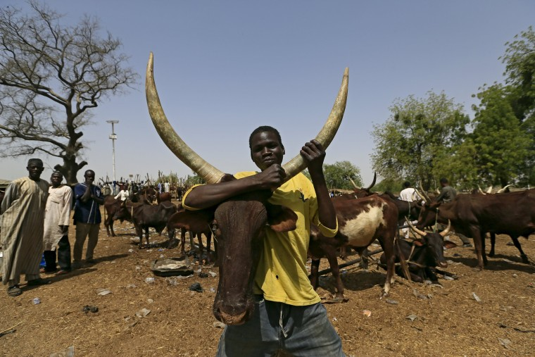 Image: A man holds a cow at the cattle market