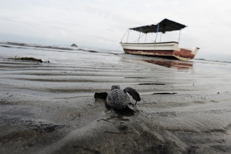 Image: TOPSHOT-INDONESIA-ENVIRONMENT-TURTLE