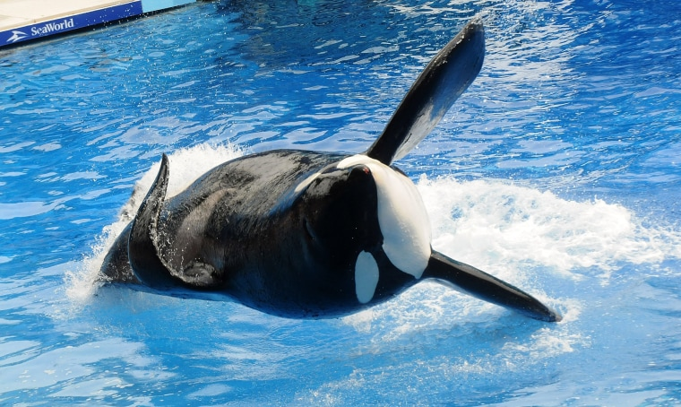 """Image: Killer whale \""""Tilikum\"""" appears during its performance in its show at Sea World"""