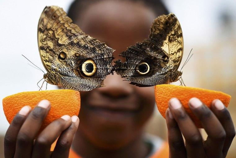 Image: Bjorn, aged 5, smiles as he poses with a Owl butterfly during an event to launch the Sensational Butterflies exhibition at the Natural History Museum in London
