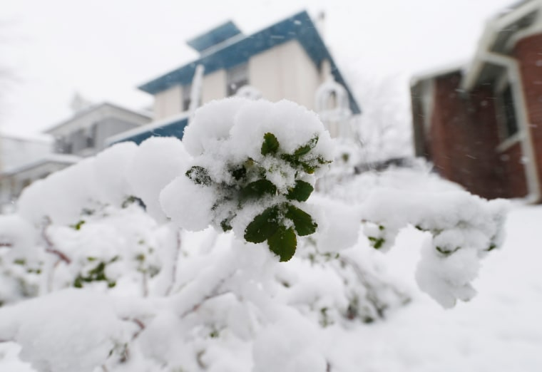 Image: Snow covers bloom on bush