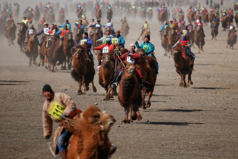 Image: The Wider Image: Mongolia's camel festival