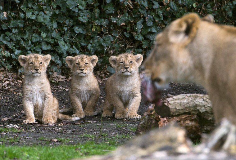 Image: Three Asian lion cubs stand next to their mother Lorena while being presented to the public at the Planckendael Park in Mechelen