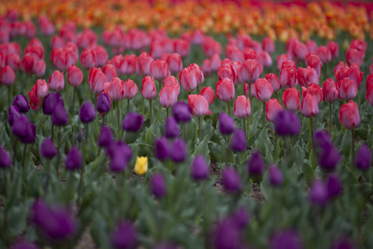 Image: Tulips are seen in full bloom at a garden in the outskirts of Srinagar
