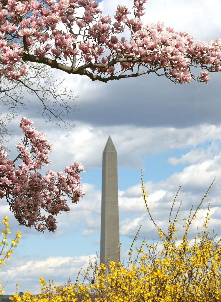 Image: With Spring Approaching, D.C.'s Magnolia Tree's In Full Bloom