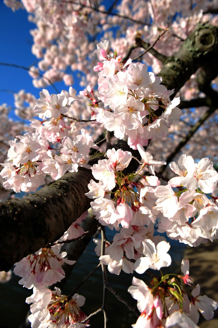 Image: US-LIFESTYLE-CHERRY-BLOSSOMS