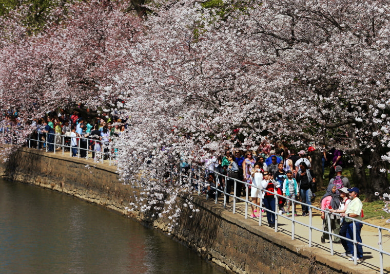 Image: Cherry Blossoms Begin To Bloom In Washington, DC
