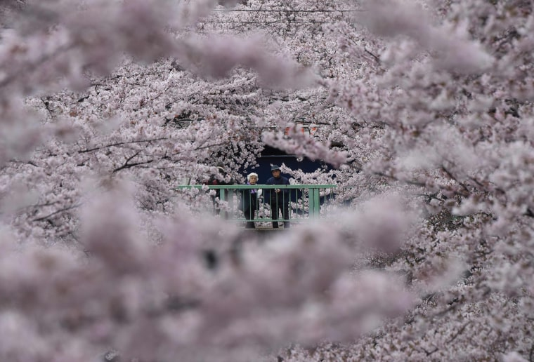 Image: JAPAN-HUMAN-INTEREST-CHERRY-BLOSSOM