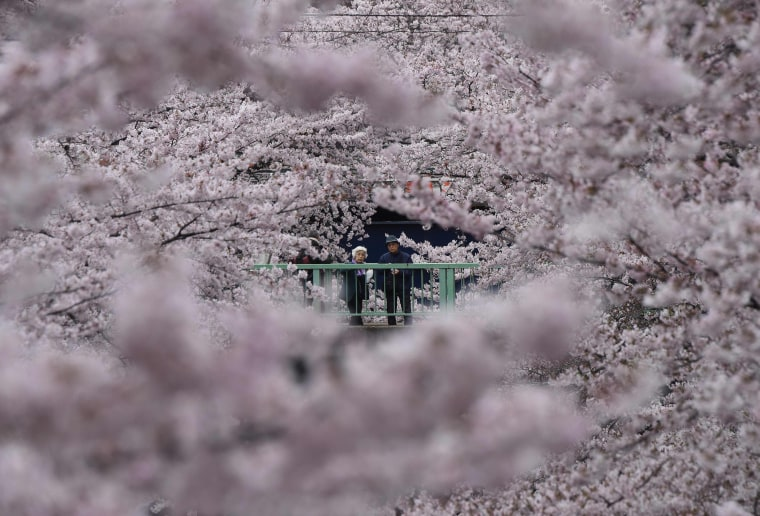 Image: JAPAN-HUMAN-INTEREST-CHERRY-BLOSSOM