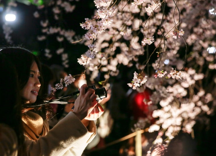 Image: Cherry blossoms in full bloom in Tokyo