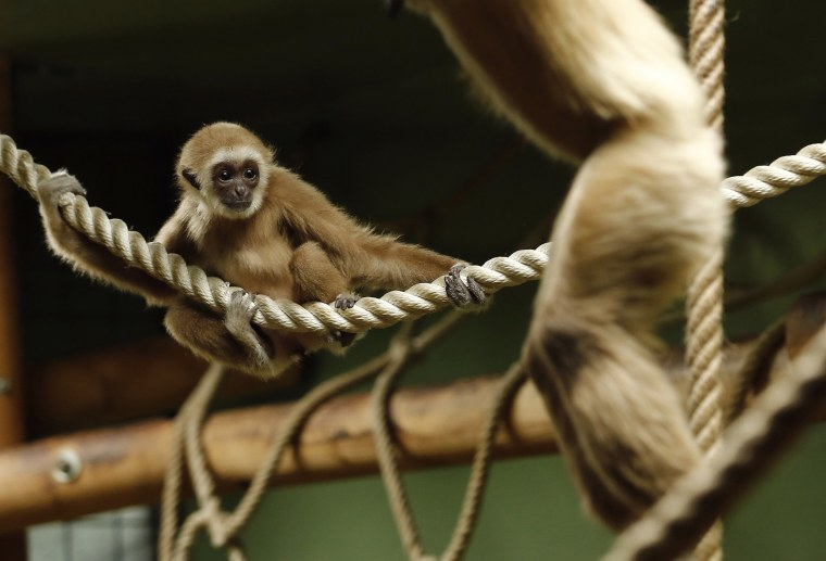 Image: A baby lar gibbon, an endangered species of ape, is seen at Zagreb Zoo