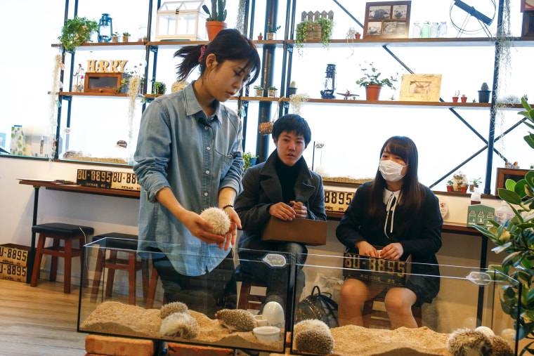 Image: A staff member takes a hedgehog from a glass enclosure at the Harry hedgehog cafe in Tokyo