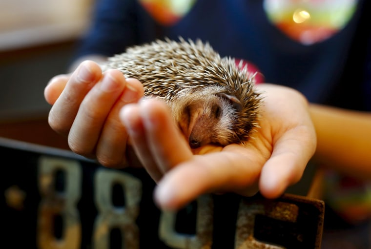 Image: A woman holds a hedgehog at the Harry hedgehog cafe in Tokyo