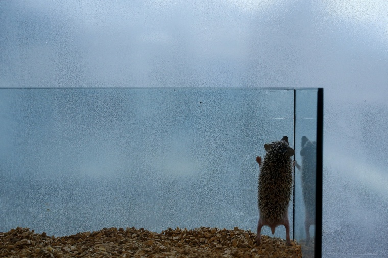 Image: A hedgehog stands up in a glass enclosure at the Harry hedgehog cafe in Tokyo