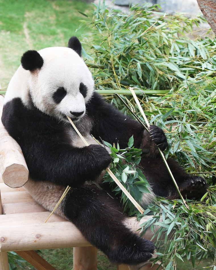 Image:Le Bao (pleasant treasure) eats bamboo shoots at the amusement park in Yongin