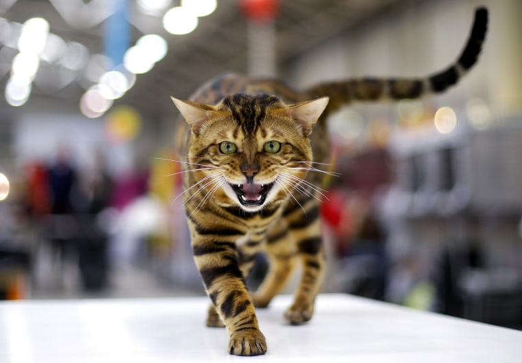 Image: A Bengal cat is seen during the Mediterranean Winner 2016 cat show in Rome